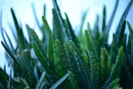 Aloe Vera Seedlings