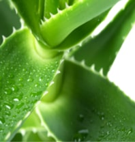 Aloe Vera Side Effects www.aloeverahq.com