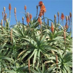 Aloe Vera Arborescens