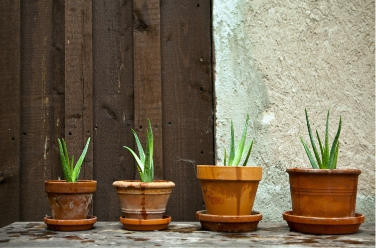 Best Soil For Potting An Aloe Plant