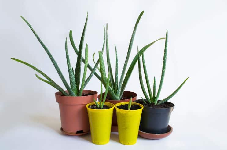 Aloe Vera Propagation